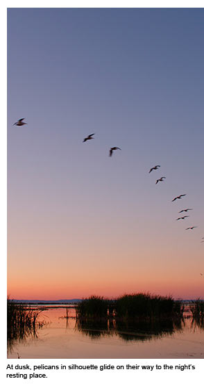 Pelicans in silhouette glide at dusk on their way to their night's rest.